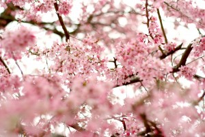 twigs-branches-trees-flower-sky-cherry-cherries-flowers-rose-petals-spring-nature-blur