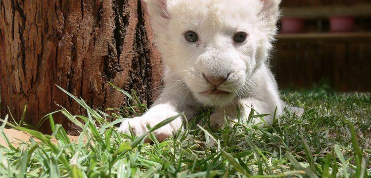 Petit lionceau deviendra grand